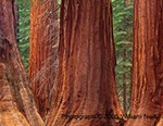 Giant Sequoia trees, Mariposa Grove, Yosemite National Park, CA