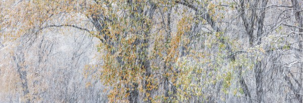Autumn Oaks and Snowstorm, El Capitan Meadow, Yosemite National Park, California, 2013