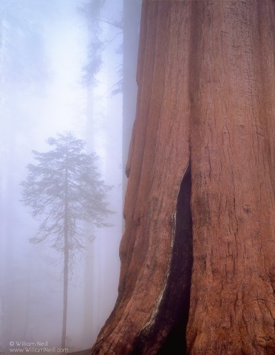 Giant sequoia and fir tree in the fog, Sequoia National Park, California, 1993